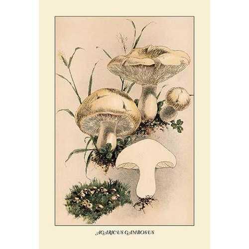 Agaricus Gambosus (Paper Poster)