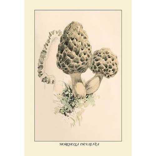 Morchella Esculenta (Paper Poster)