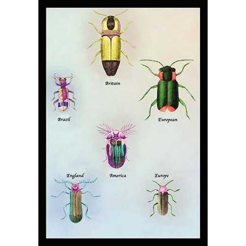 Beetles of America, Britain, Brazil, England and Europe #1 (Canvas Art)