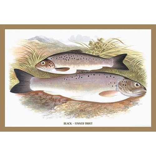 Black-Finned Trout (Canvas Art)