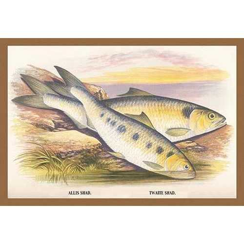 Allis Shad and Twaite Shad (Canvas Art)