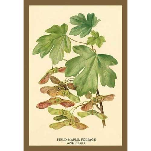 Field Maple, Foliage, and Fruit (Paper Poster)