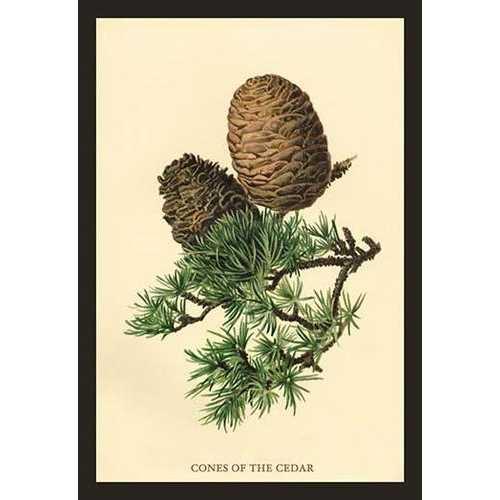 Cones of the Cedar (Paper Poster)