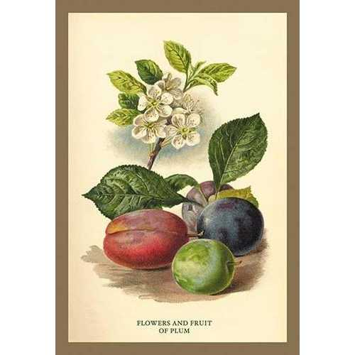 Flowers and Fruit of a Plum (Paper Poster)