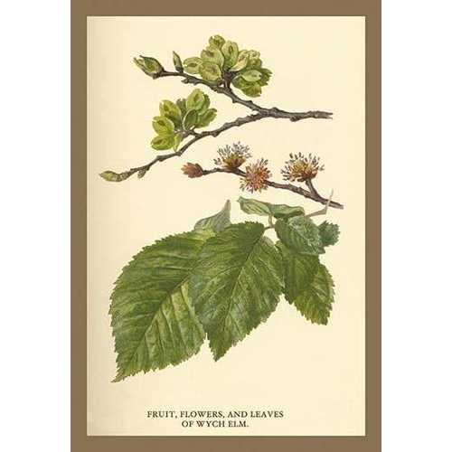 Fruit, Flower and Leaves from Wych Elm (Paper Poster)