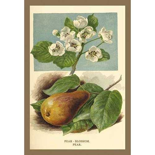 The Pear-Blossom. Pear. (Paper Poster)