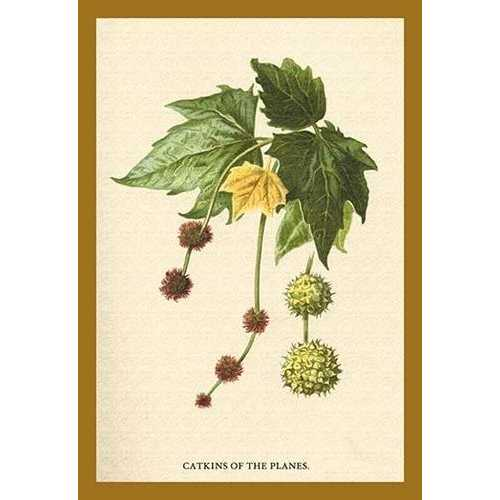 Catkins of the Planes (Paper Poster)