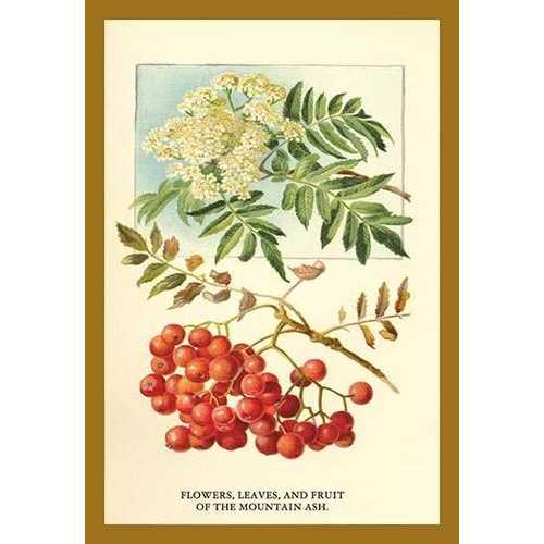 Flowers, Leaves, and Fruit Of The Mountian Ash. (Paper Poster)