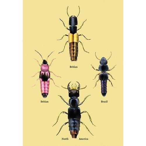 Beetles from Britain, Brazil, and North America #2 (Canvas Art)