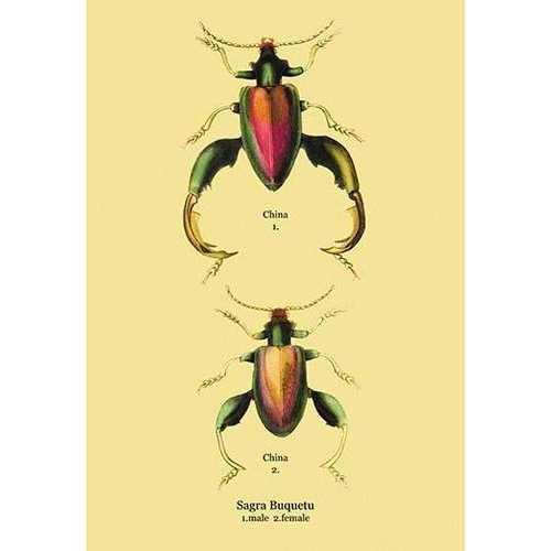 Beetle: Chinese Sagra Buquetu #2 (Canvas Art)