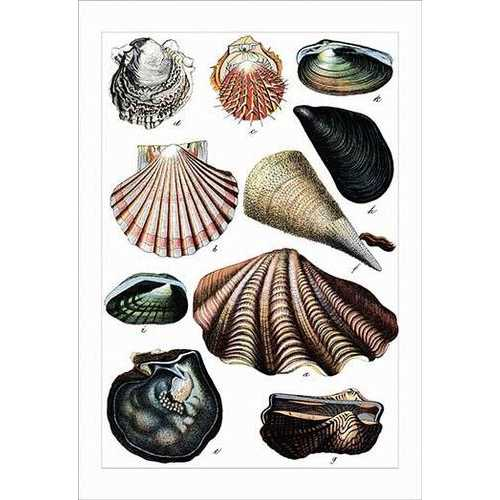 Collected Shell Specimens (Canvas Art)