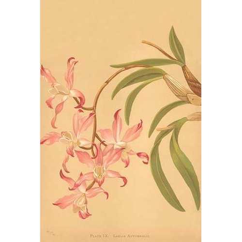 Laelia Autumnalis (Paper Poster)