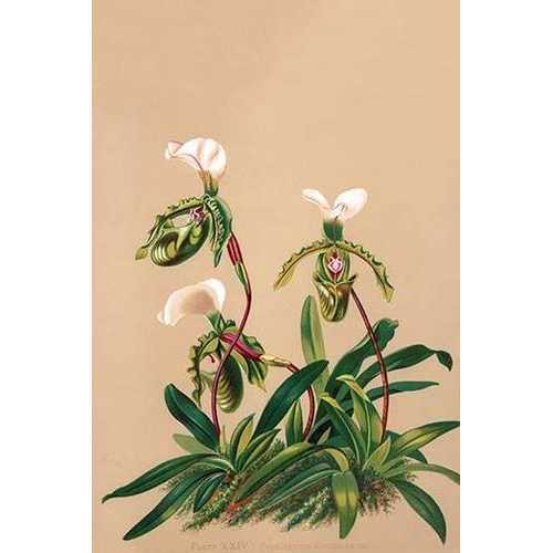 Cypripedium Spicerianum; East Indian Lady Slipper (Paper Poster)