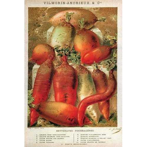 Betteraves Fourragers - Tuber Vegetables (Fine Art Giclee)
