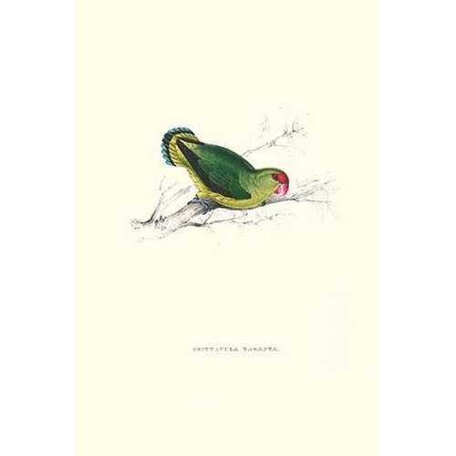 Abyssinian Parakeet - Agapornis Taranta (Canvas Art)