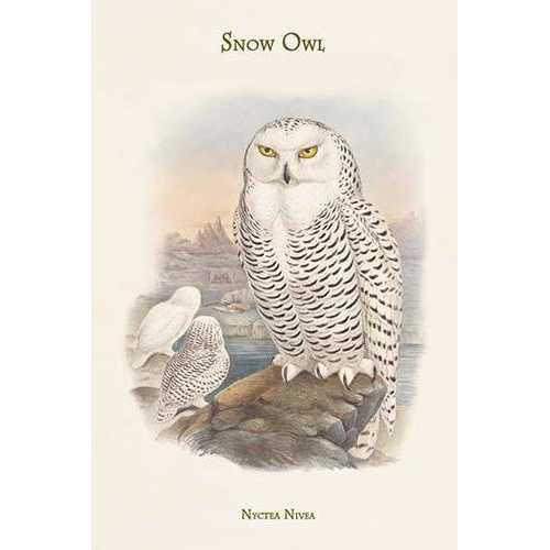 Nyctea Nivea - Snow Owl (Framed Poster)