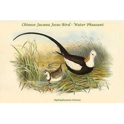 Hydrophasianus Sinensis - Chinese Jacana Jesus Bird - Water Pheasant (Paper Poster)