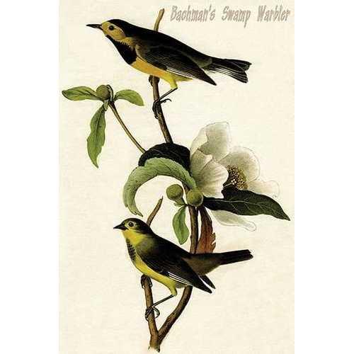 Bachman's Swmap Warbler (Canvas Art)