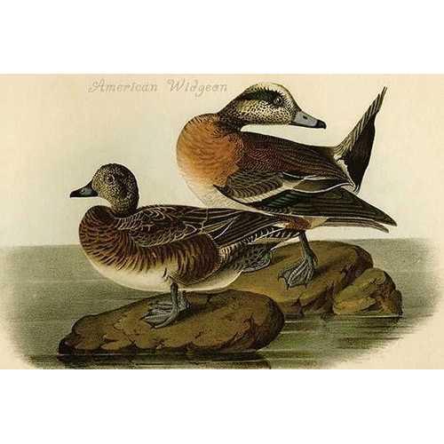 American Widgeon (Canvas Art)