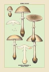 Edible Fungi: Reddish Amanita (Paper Poster)
