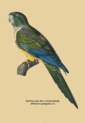 Psittacara de la Patagonie (Paper Poster)