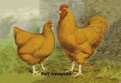 Buff Orpingtons (Canvas Art)