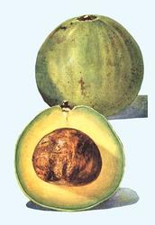 Avocado (Paper Poster)