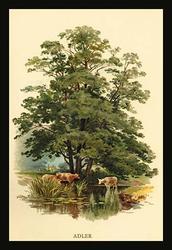 Alder Tree (Paper Poster)