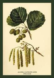 Alder, Catkins and Foliage (Paper Poster)