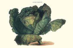 Cabbage (Canvas Art)