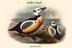 Eniconetta Stelleri - Steller's Duck (Canvas Art)