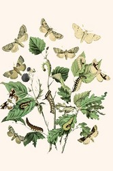 European Butterflies & Moths (Paper Poster)