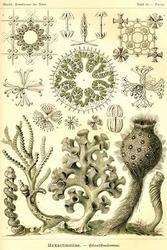 Hexactinellae (Canvas Art)
