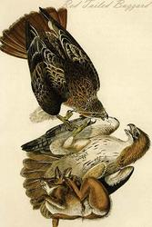 Red Tailed Buzzard (Paper Poster)